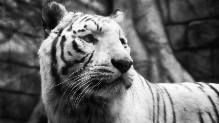【東武動物公園】イルミを見ながらホワイトタイガーに会ってきたなの!【もろあに】