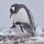 【南極4】野生のペンギンがいっぱいなの!【もろあに】