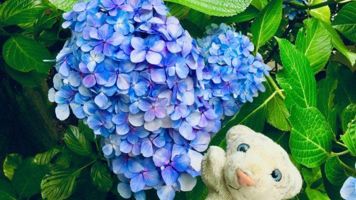 【鎌倉・長谷寺】行列必至の人気紫陽花スポットなの!